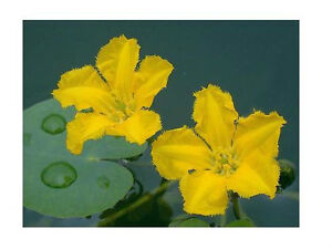 Yellow floating heart water lily mini lily plant koi pond for Pond plants that survive winter