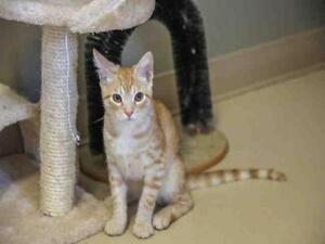 "Baby Male Cat - Domestic Short Hair: ""CALEB"""