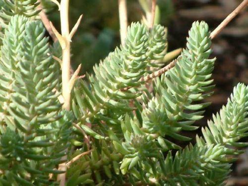 Steingartenpflanzen garten terrasse ebay - Winterharte steingartenpflanzen ...
