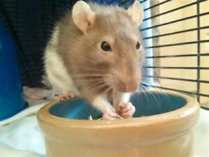 """Young Female Small & Furry - Rat: """"Pepper"""""""