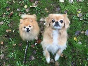 "Senior Female Dog - Japanese Chin-Pomeranian: ""Elcee"""