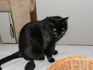 "Adult Female Cat - Domestic Short Hair-black: ""Lucy"""