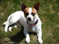 """Young Male Dog - Toy Fox Terrier-Chihuahua: """"Peanut  <10 lbs"""""""