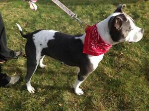 "Adult Female Dog - American Staffordshire Terrier: ""Honey"""