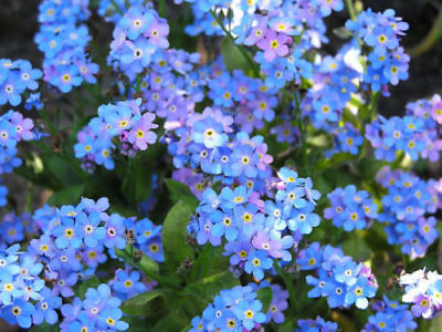 100 Packets Forget Me Not Flower Seeds Packs Wedding Funeral Party Favors Groco
