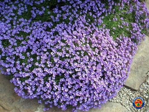 500 PURPLE ROCKCRESS Aubrieta Deltoidea Flower Seeds Ground Cover