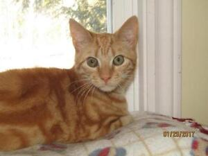 "Young Male Cat - Tabby - Orange: ""Alfred"""