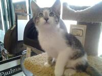 "Baby Male Cat - Tabby - Brown: ""Wasabi"""