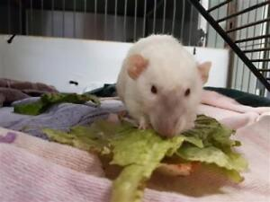 "Young Male Small & Furry - Rat: ""Pharaoh"""