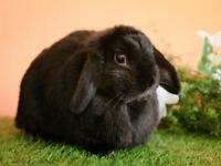 "Adult Female Rabbit - Holland Lop-American: ""Nibbles"""
