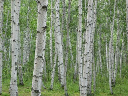 Birch Tree Ebay
