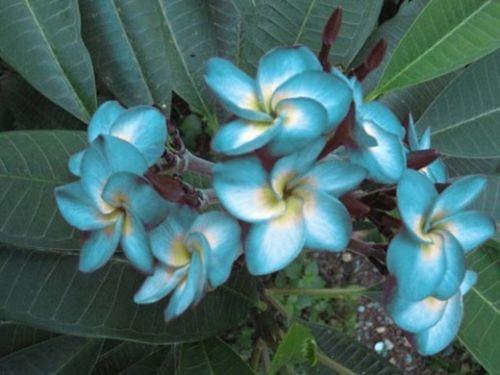 Blue Plumeria Cutting Plants Ebay