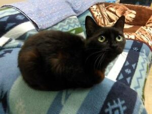 "Adult Female Cat - Domestic Short Hair: ""Ellary"""