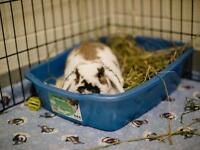 "Young Female Rabbit - Holland Lop: ""Toph"""