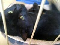 "Adult Male Cat - Domestic Short Hair-black: ""Sweet Pea"""