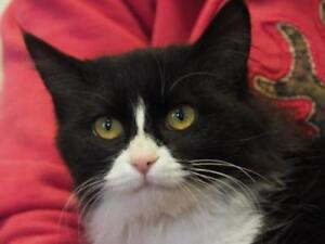 "Adult Female Cat - Domestic Medium Hair: ""Friday"""