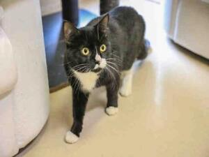 """Young Male Cat - Domestic Short Hair: """"LINUS"""""""