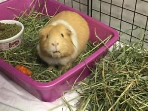 "Adult Male Small & Furry - Guinea Pig: ""Boomer"""
