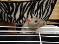 """Baby Male Small & Furry - Rat: """"Leroy"""""""