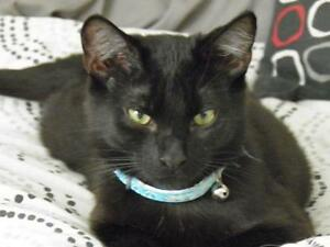 "Young Male Cat - Domestic Short Hair-black: ""Leonard"""