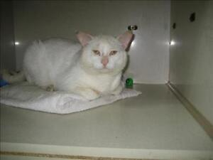 "Senior Male Cat - Domestic Short Hair: ""Mickey"""
