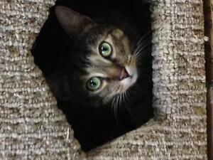 "Adult Female Cat - Tabby - Brown: ""Stella"""