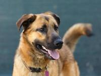 "Young Male Dog - German Shepherd Dog-Golden Retriever: ""Brock"""