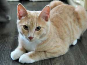 Young Male  - Domestic Short Hair (Orange & White)