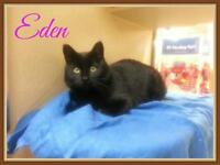 "Young Female Cat - Domestic Short Hair-black: ""Eden"""