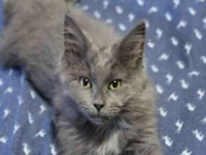 "Baby Female Cat - Domestic Medium Hair: ""PHARRELLE"""
