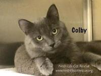 """Young Male Cat - Russian Blue: """"Colby"""""""