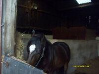 LOAN SPORTS HORSE NEAR ELSTREE LONDON