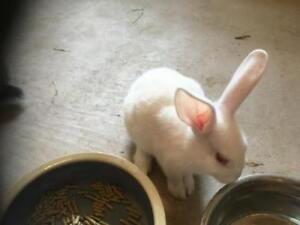 """Young Male Rabbit - Flemish Giant-Californian: """"Theodore"""""""