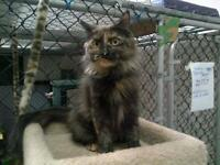 "Adult Female Cat - Tortoiseshell: ""Char"""