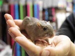 "Adult  Small & Furry - Gerbil: ""CHOCOLATE"""
