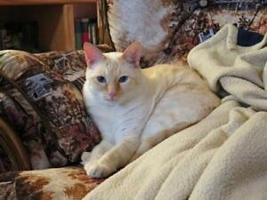 "Adult Male Cat - Siamese: ""Dexter"""