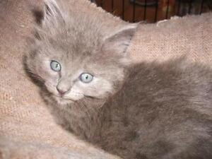 "Young Male Cat - Domestic Medium Hair: ""Sylvio"""