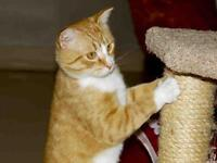"""Adult Male Cat - Domestic Short Hair: """"BUTLER"""""""