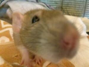 "Baby Female Small & Furry - Rat: ""Angela"""