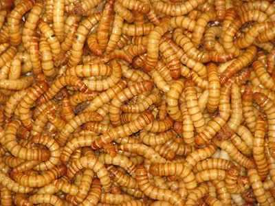 250+ Med/Lg Live Mealworms