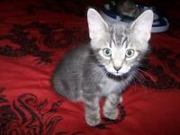 "Baby Male Cat - Tabby - Grey: ""Percy"""