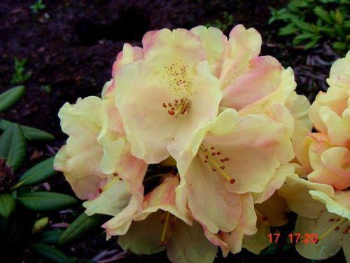 rhododendron pflanzen b ume str ucher ebay. Black Bedroom Furniture Sets. Home Design Ideas