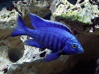 African cichlids top quality !