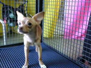 """Young Female Dog - Chihuahua: """"Lucy-ChiChi"""""""