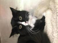 "Young Female Cat - Domestic Medium Hair: ""Esme"""