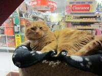 """Adult Male Cat - Domestic Short Hair-Tabby: """"Theodore"""""""