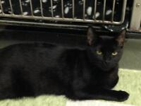 "Adult Female Cat - Domestic Short Hair: ""Mouse"""