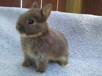 dwarf netherland rabbits