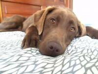 "Adult Female Dog - Chocolate Labrador Retriever: ""Indy"""