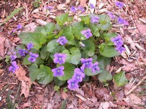 6 x Wild Violet (Viola papilionacea) bare root plants